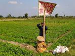petani-di-desa-bonagung-sedang-memasang-papan-bertuliskan-tidak-dijual.jpg