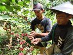 petani-kopi-sedang-memanen-buah-kopi-indro.jpg