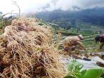 petani-memanen-bawang.jpg