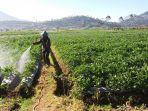 petani-menyemrotkan-air-ke-tanaman-kentang-miliknya.jpg