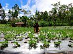 petani-sedang-merawat-kebun-stroberi-di-desa-serang-karangreja-purbalingga_20170405_155751.jpg