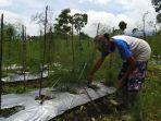 petani-temanggung-memanen-aspargus-di-desa-canggal-kecamatan-candiroto-kabupaten-temanggung.jpg