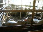 peternakan-sapi-ngudi-mulyo-di-jatibarang-milik-bersama-warga_20170804_173848.jpg