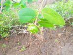 pidada-buah-mangrove-cegah-radang-saluran-kemih-dan-tbc.jpg