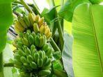 pisang-dan-pohon-pisang.jpg
