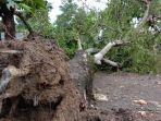 pohon-mangga-berusia-puluhan-tahun-tumbang-di-desa-tlogorejo-tegowanu-grobogan3.jpg