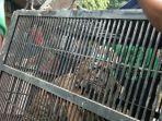 proses-pemindahan-harimau-benggala-dari-taman-marga-satwa-semarang-ke-trms-serulingmas.jpg