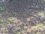 ratusan-burung-pipia-sosial-kamis-992021.jpg