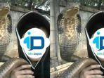 rendy-dan-ular-king-kobra-peliharaannya.jpg