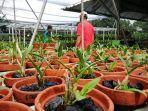 ribuan-tanaman-anggrek-tertata-rapi-di-penggarit-orchids-pemalang.jpg
