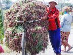 seorang-buruh-tani-membawa-bawang-merah-seusai-panen-di-brebes-ilustrasi.jpg