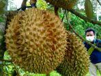 seorang-pengunjung-melihat-durian-di-pohon-di-kampung-durian-nglawungan-blora.jpg