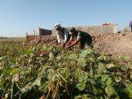 serda-mahmudin-membantu-petani-di-dukuh-lengkong.jpg