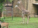 tampak-duo-jerapah-satwa-afrika-di-area-zona-afrika-di-bazoga-atau-kebun-binatang-bandung.jpg