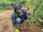 tanaman-jahe-menghampar-di-lahan-milik-tukiyo-desa-kalimendong-kecamatan-leksono-wonosobo.jpg