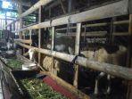 ternak-kambing-dengan-pangan-fermentasi-di-boja_20180218_145504.jpg