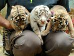 tiga-bayi-harimau-di-bonbin-mangkang_20170113_160755.jpg