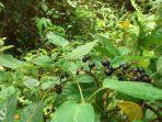 tumbuhan-girang-leea-indica-burm-f-merr-merupakan-anggota-genus-leea.jpg