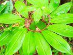 tumbuhan-pacing-tawar-costus-speciosus-di-alam-liar-mudah-dikenali.jpg