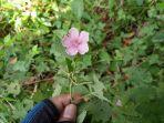 tumbuhan-pulutan-berpotensi-menghambat-pertumbuhan-sel-kanker-payudara.jpg