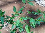 tumbuhan-sidaguri-obat-asam-urat.jpg