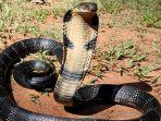 ular-king-kobra-9.jpg