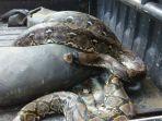 ular-piton-di-manyaran-semarang_20171114_193622.jpg