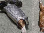 ular-piton-telan-kucing.jpg