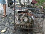 ular-piton-yang-ditangkap-setelah-masuk-rumah-warga-saat-banjir.jpg