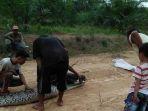 ular-piton-yang-ditangkap-warga-di-kabupaten-batanghari_20181107_121858.jpg
