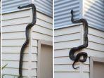 ular-piton_20180807_131838.jpg