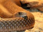 ular-taipan_20170321_180405.jpg