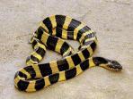 ular-welang_20151106_182239.jpg