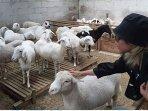 wisata-peternakan-domba-di-pekalongan.jpg