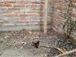 yanto-beberkan-rahasia-perawatan-biar-burung-murai-dan-love-bird-sering-juara_20180220_000104.jpg