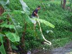 yuli-ismanto-menangkapular-piton-albino-sepanjang-kurang-lebih-4-meter.jpg