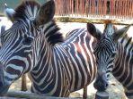 zebra-di-batang-dolpin-center_20180331_180345.jpg