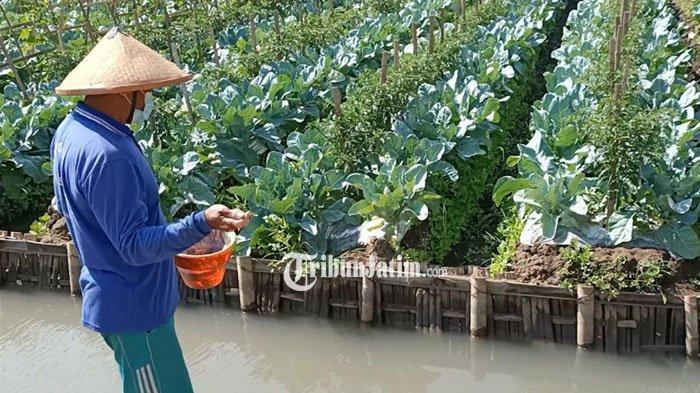 Petani di Kediri Olah Lahan Bekas Banjir dengan Teknik Mina Horti, Sekali Panen Bisa Raih Rp 20 Juta
