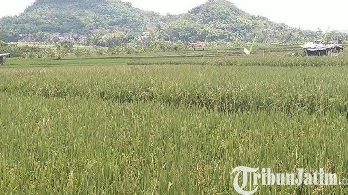 Petani Padi di Pendem Kota Batu Kecewa Adanya Kebijakan Impor Beras
