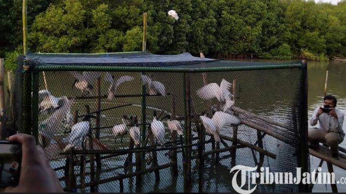 Puluhan Burung Laut Dilepas di Gresik