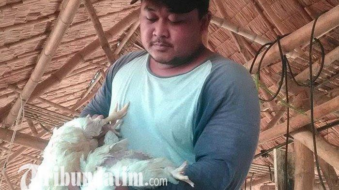 Ratusan Ayam Potong Siap Panen di Jombang Mendadak Mati, Diduga Tertimbas Cuaca Ekstrem