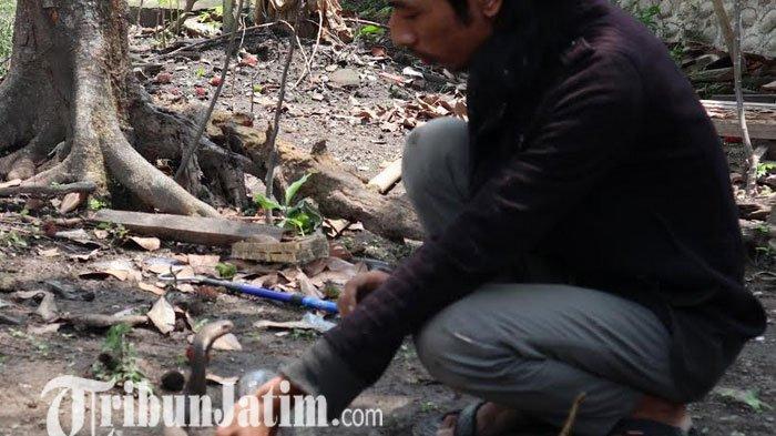 Teror Ular Kobra Juga Dialami Warga Jombang, Ditemukan Dua Induk Kobra