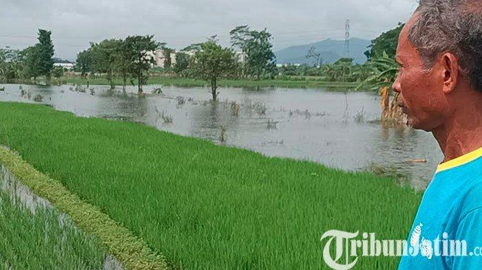 Sawah Terendam Banjir, Petani di Desa Gampeng Kediri Minta Pemkab Buatkan Saluran Irigasi