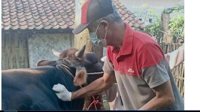 Dokter Hewan di Lumajang ini Bekerja Bagai Alarm,  Saat Bantu Persalinan Sapi