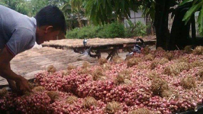 Petani Pamekasan Ramai-ramai Tanam Bawang Merah di Puncak Musim Hujan, Begini Penjelasan Kementan