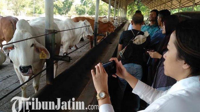 Wujudkan Swasembada Daging Nasional, JAPFA Mulai Kembangkan Sapi Jenis F1 Nelore