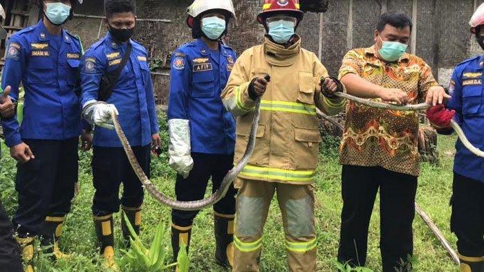 Damkar Trenggalek Evakuasi Dua Ekor Ular Kobra di Puskesmas Pogalan