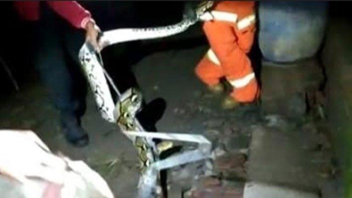 Ular Sanca Kembang 3,5 Meter Tinggal di Rumah Warga Kota Kediri, Evakuasi Berlangsung Dramatis
