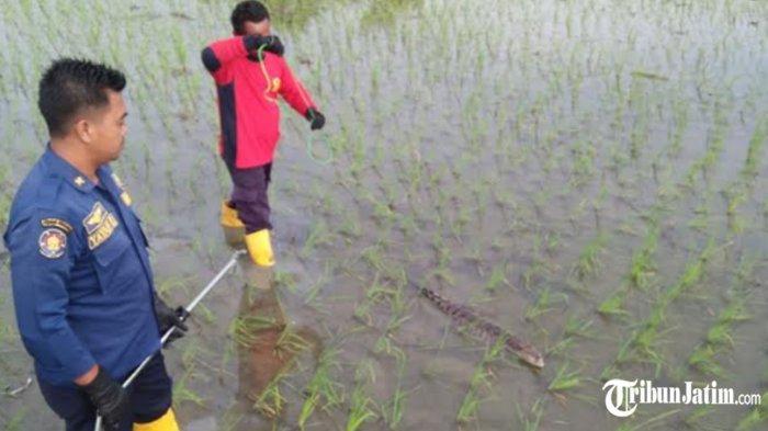 Geger Ada Buaya Keliaran di Area Sawah Desa Jono Bojonegoro, Warga Khawatir Bikin Celaka