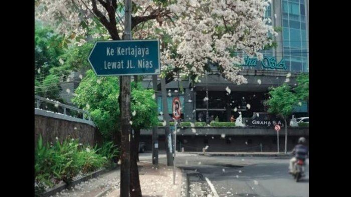 Ini Jenis Pohon yang Bunganya Berguguran Indah di Surabaya, Bukan Pohon Sakura